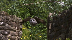 Great Grey Owl, strix nebulosa, Adult in Flight Between two Walls of Stone, Slow Stock Footage