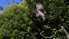 Great Grey Owl, strix nebulosa, Adult in Flight, Taking off from Branch, Slow Stock Footage