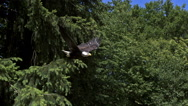 Bald Eagle, haliaeetus leucocephalus, Adult in Flight, Taking off from Branch, Stock Footage