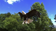 Bald Eagle, haliaeetus leucocephalus, Adult in Flight, Slow Motion Stock Footage