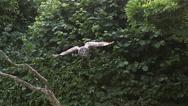 Great Grey Owl, strix nebulosa, Adult in Flight, Slow Motion Stock Footage