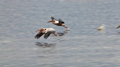 Great White Pelican, pelecanus onocrotalus, Adults in Flight, Group at Nakuru Stock Footage