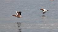 Great White Pelican, pelecanus onocrotalus, Adults in Flight, Group at Nakuru Stock Footage