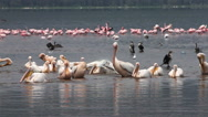 Great White Pelican, pelecanus onocrotalus, Group having Bath, Colony at Nakuru Stock Footage