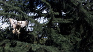 Long Eared Owl, asio otus, Adult in Flight, Taking off from Tree, Normandy  Stock Footage