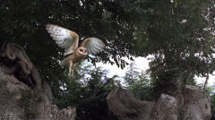 Barn Owl, tyto alba, Adult in Flight, Taking off from Tree Trunk, Normandy, Slow Stock Footage