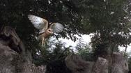 Barn Owl, tyto alba, Adult in Flight, Taking off from Tree Trunk, Normandy, Slow Stock Footage