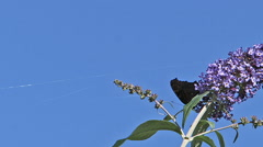 Peacock Butterfly, inachis io, Adult in Flight, Feeding on Buddleja or Summer Stock Footage