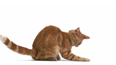Red Tabby Domestic Cat, Adult Playing, Leaping against White Background, Slow Stock Footage