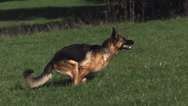 Domestic Dog, German Shepherd Dog, Adult running on Grass, Slow motion Stock Footage