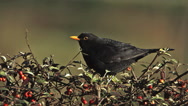 Blackbird, turdus merula, Male eating Berries from Cotoneaster, Normandy, Slow Stock Footage