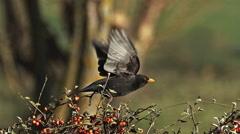 Blackbird, turdus merula, Male in Flight, Taking off from Cotoneaster, Normandy, Stock Footage