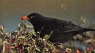 Blackbird, turdus merula, Male eating Berries from Cotoneaster, Normandy, Slow Stock Footage