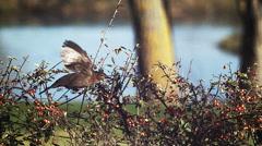 Blackbird, turdus merula, Female in Flight near a Cotoneaster, Normandy, Slow Stock Footage
