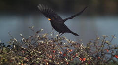 Blackbird, turdus merula, Male i Flight, Taking off from Cotoneaster, Normandy, Stock Footage