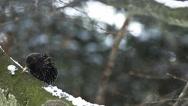 Common Starling, sturnus vulgaris, Adult scratching its Beak, Normandy, Slow Stock Footage