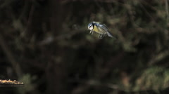 Blue Tit, parus caeruleus, Adult in Flight, Landing on Trough, Normandy, Slow Stock Footage