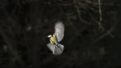Great Tit, parus major, Adult in Flight, Landing on Trough, Normandy, Slow Stock Footage