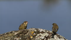 European Greenfinch, carduelis chloris, Adult in Defensive Posture, Ejecting Stock Footage