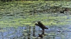 Common Moorhen or European Moorhen, gallinula chloropus, Immature in Flight Stock Footage