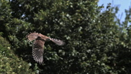 Common Kestrel, falco tinnunculus, Adult in Flight, Normandy, Slow Motion Stock Footage