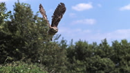 Eurasian Tawny Owl, strix aluco, Adult in Flight, Normandy, Slow motion Stock Footage