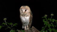 Barn Owl, tyto alba, Wings and Head Shaking, Normandy, Slow Motion Stock Footage