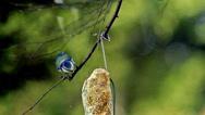 Blue Tit, parus caeruleus, Adult in Flight, Feeding at Trough, Normandy, Slow Stock Footage