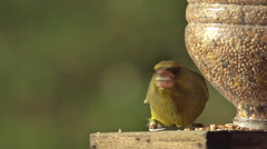European Greenfinch, carduelis chloris, Adult eating Food at Trough, in Flight Stock Footage