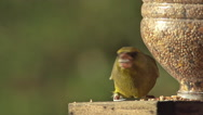 European Greenfinch, carduelis chloris, Adult eating Food at Trough, in Flight Stock Footage