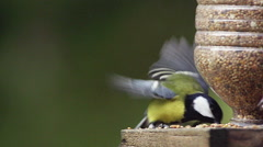 Great Tit, parus major, Adult eating Food at Trough, in Flight, Taking off Stock Footage