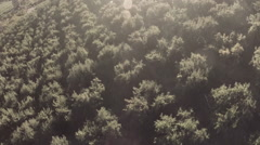 Aerial: Low To High Over Fruit Tree Tops in Stunning Sunlight Stock Footage