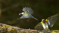 Great Tit, parus major, Male in Taking of with Food in its Beak, Brambling Stock Footage