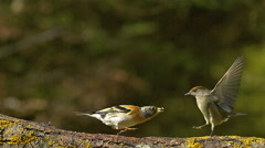 Brambling, fringilla montifringilla, Adult with Food in its Beak attacking Stock Footage