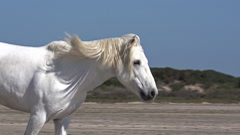 Camargue Horse Galloping on the Beach, Saintes Marie de la Mer in Camargue Stock Footage