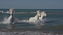 Camargue Horse Galloping in the Sea, Saintes Marie de la Mer in Camargue Stock Footage