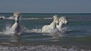 Camargue Horse Galloping in the Sea, Saintes Marie de la Mer in Camargue Stock Footage
