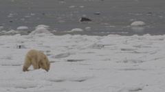 Polar bear on broken sea ice of shore looks around and licks Stock Footage