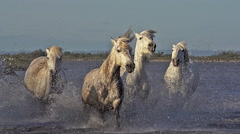 Camargue Horse, Group galloping through Swamp, Saintes Marie de la Mer  Stock Footage