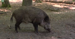 European Wild Boar (sus scrofa) rooting in forest Stock Footage
