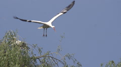 White Stork, ciconia ciconia, Pair standing on Nest, one in Flight Stock Footage