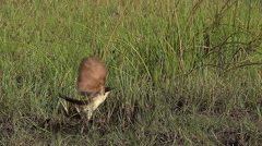 Senegal Coucal, centropus senegalensis, Adult taking off, in Flight, Moremi Stock Footage