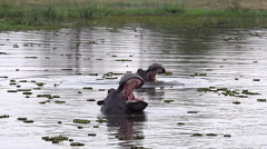 Hippopotamus, hippopotamus amphibius, Adult with Mouth wide open, Threat Stock Footage