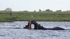 Hippopotamus, hippopotamus amphibius, Adults with Mouth wide open, Threat Stock Footage