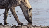 Spotted Hyena, crocuta crocuta, Adult drinking at Water Hole, Moremi Reserve Stock Footage