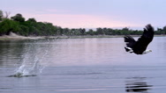 African Fish-Eagle, haliaeetus vocifer, Adult in flight, Fishing at Chobe River, Stock Footage