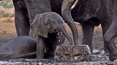 African Elephant, loxodonta africana, Group Spraying water at Drinking Pool, Stock Footage