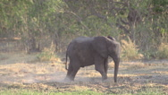 African Elephant, loxodonta africana, Young spraying Dust, Moremi Reserve, Stock Footage