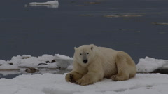 Polar bear on icy shore gets up and falls through ice briefly Stock Footage