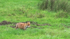 Red Fox, vulpes vulpes, Adult running on Grass, Normandy in France, Slow motion Stock Footage